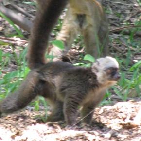 Lemurs at the TanaZoo
